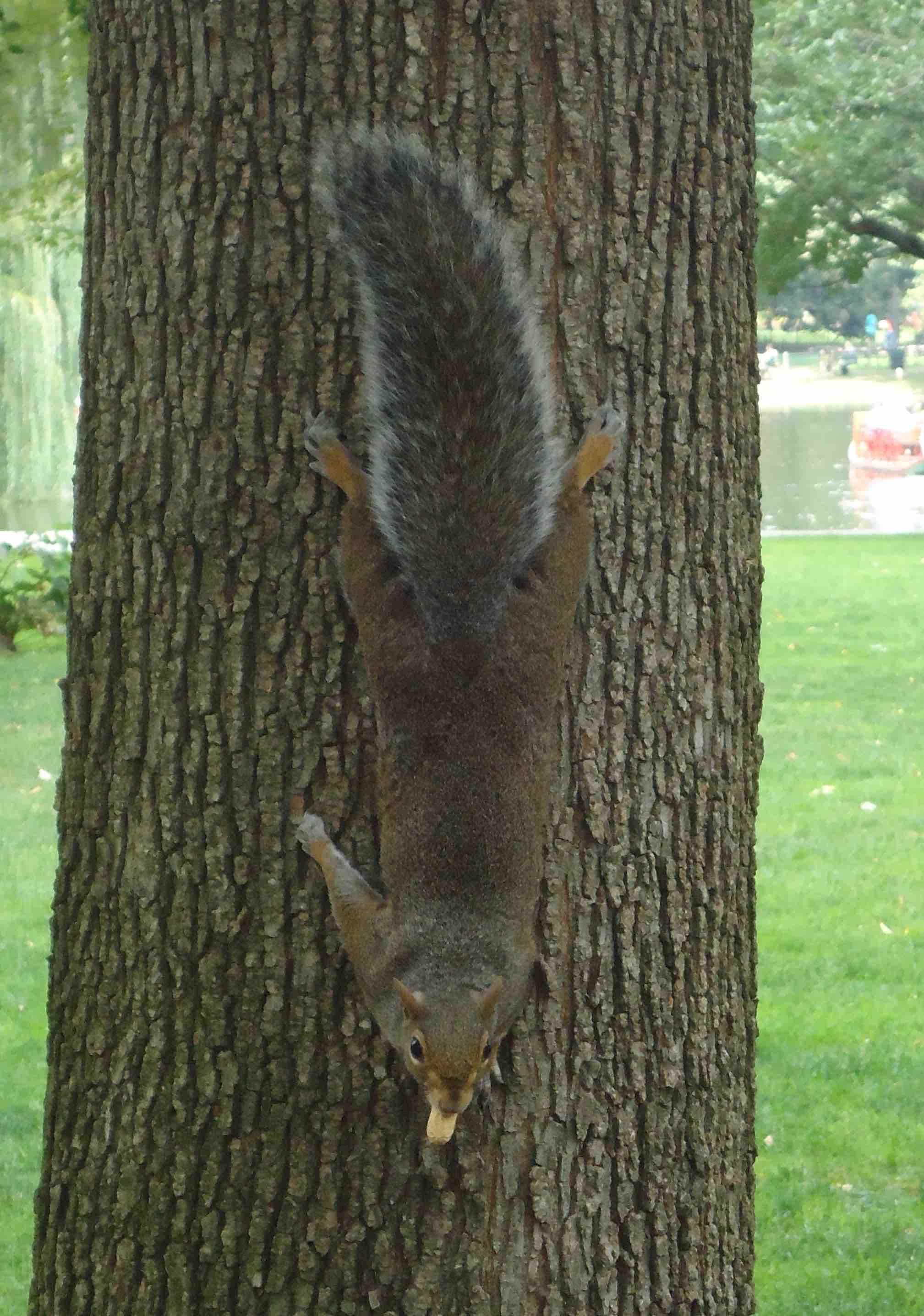 ecureuil public garden