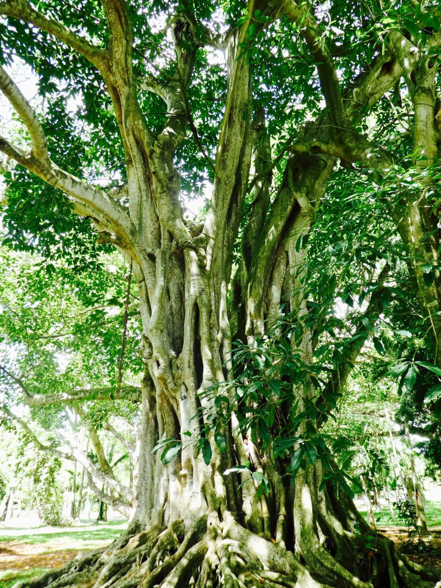 aller voir le jardin de pamplemousses à l'ile maurice