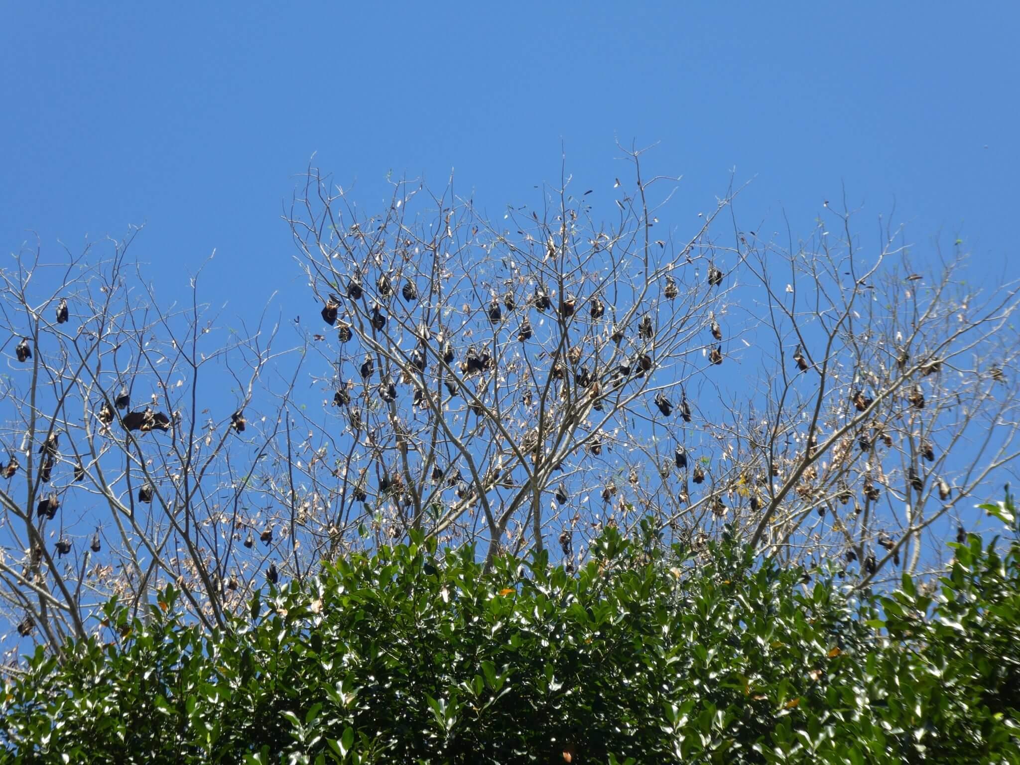 chauve souris visiter le jardin de pamplemousses à l'ile maurice