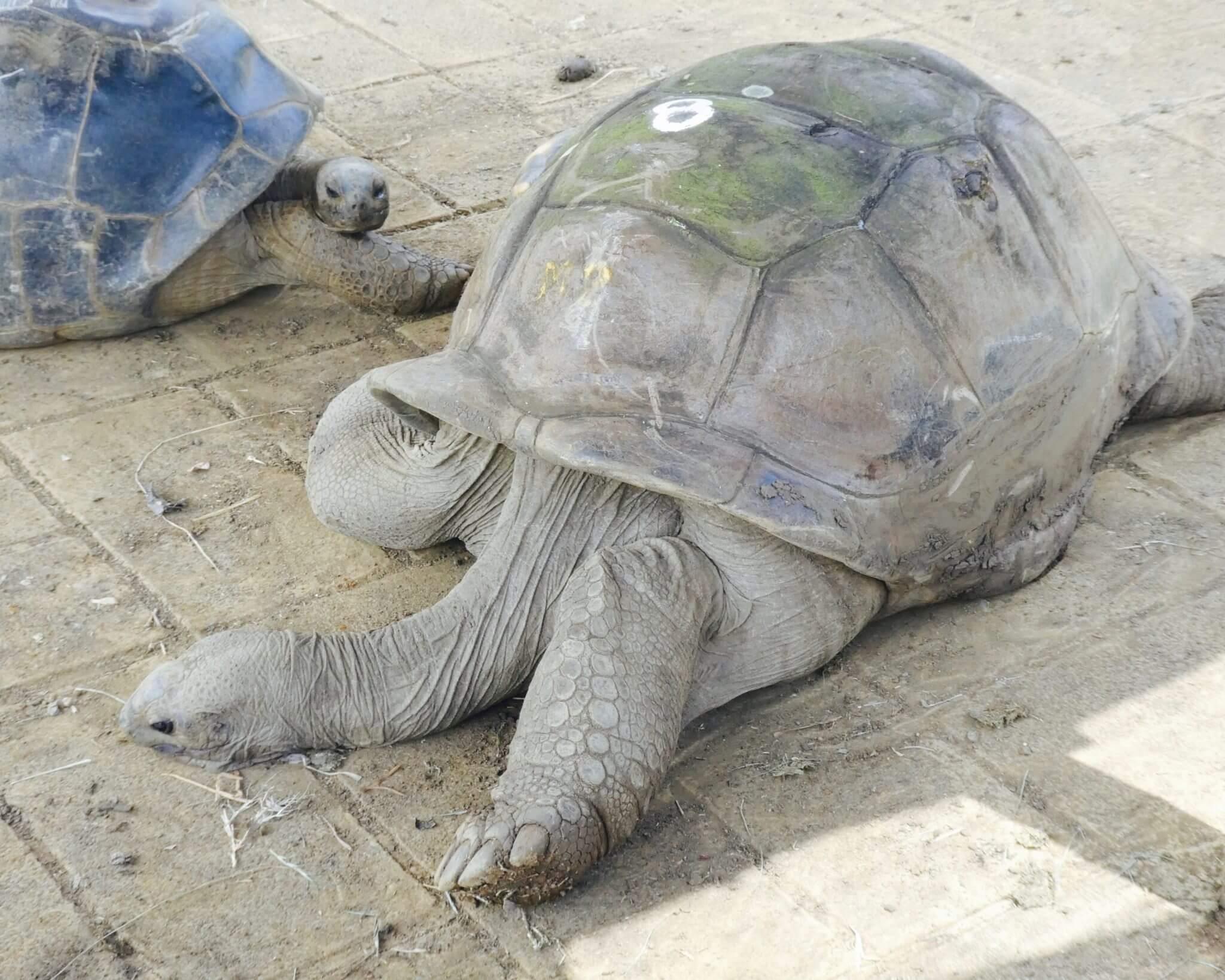 voir les tortues  jardin de pamplemousses à l'ile maurice